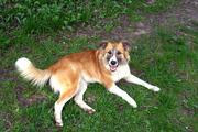 Собака Алиса,  чудесная,  солнечная,  добрая девочка,  отдам.